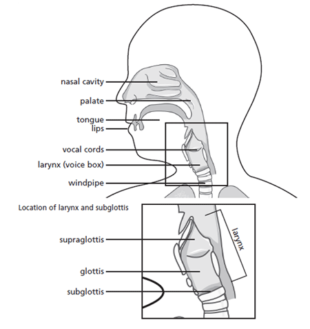Location of voice box and vocal cords