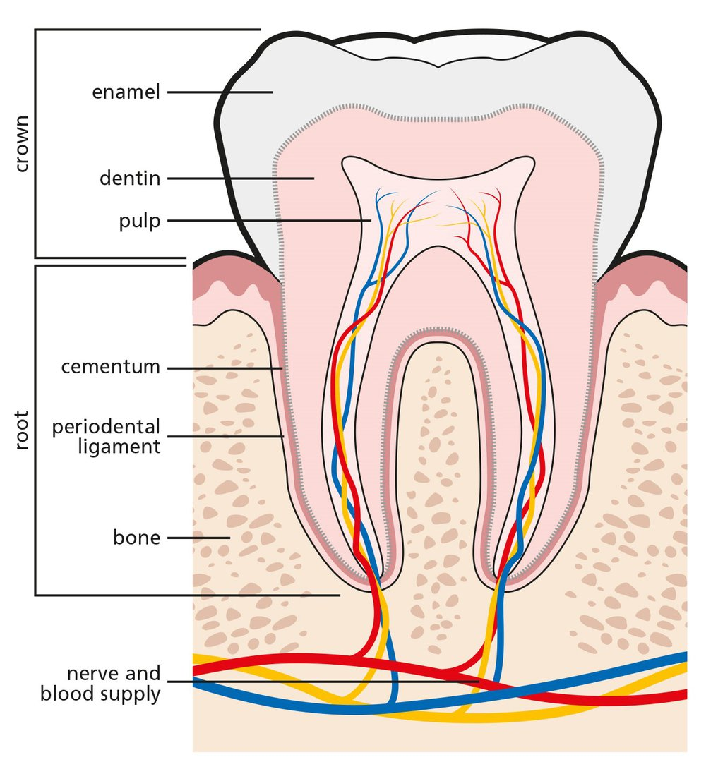 Tooth Decay Great Ormond Street Hospital
