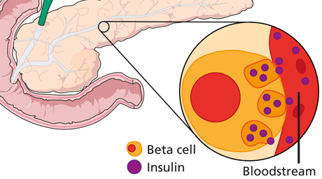 Diagram of beta cell in pancreas