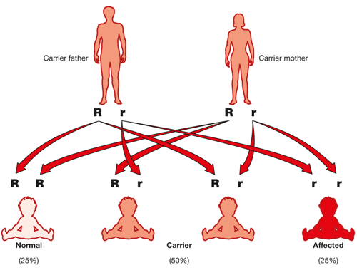 Diagram showing hereditary passing of recessive gene